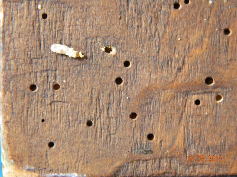 Imagine suport lemnos-dupa tratamentul impotriva atacului  xilofag- CARII DE LEMN